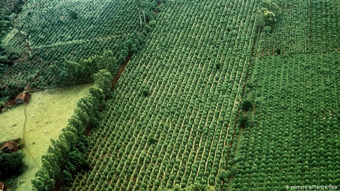 Agricultura do Brasil - Cafeicultura (picture-alliance / dpa)